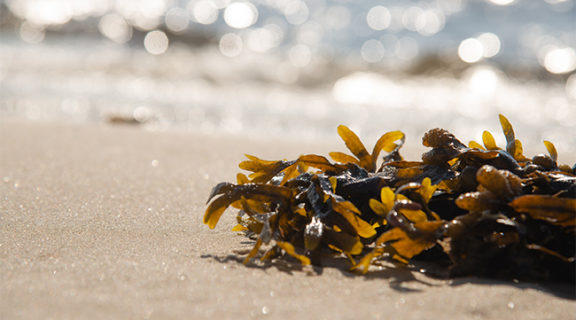Could seaweed reduce greenhouse gas in the gut?